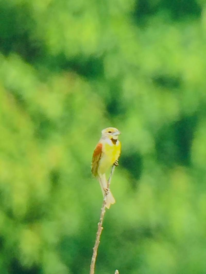Dickcissel, an occasional visitor to the Refuge seen seen near the Headquaters B